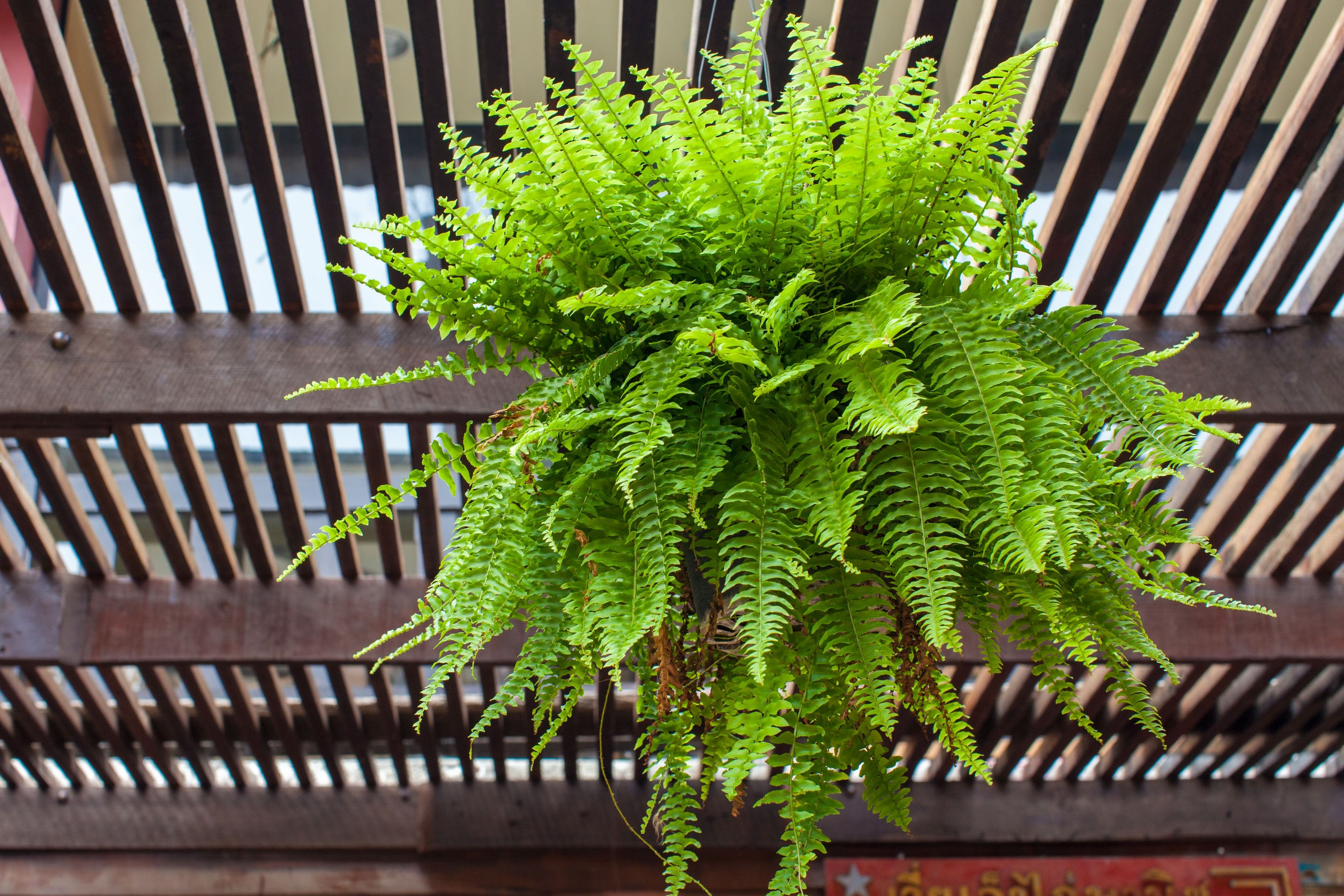 Pet Safe Plants for Dogs and Cats - Boston Fern