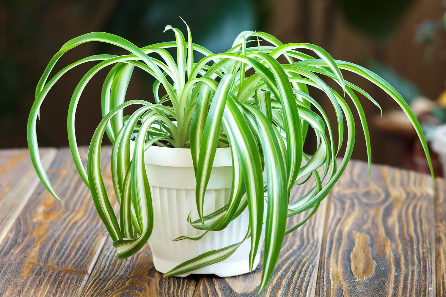 Plants safe for pets cats and dogs - spider plant