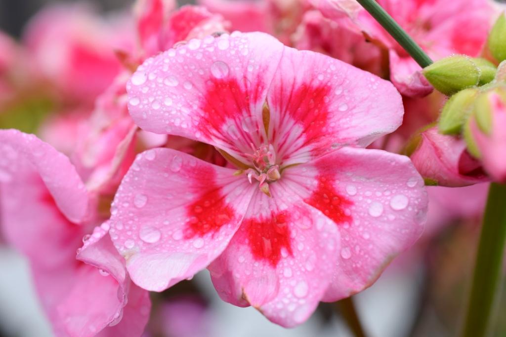 Géranium avec gouttelettes de pluie