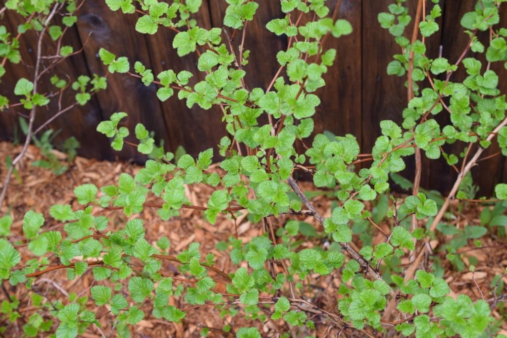 Pousses vertes de physocarpe - petites feuilles du printemps