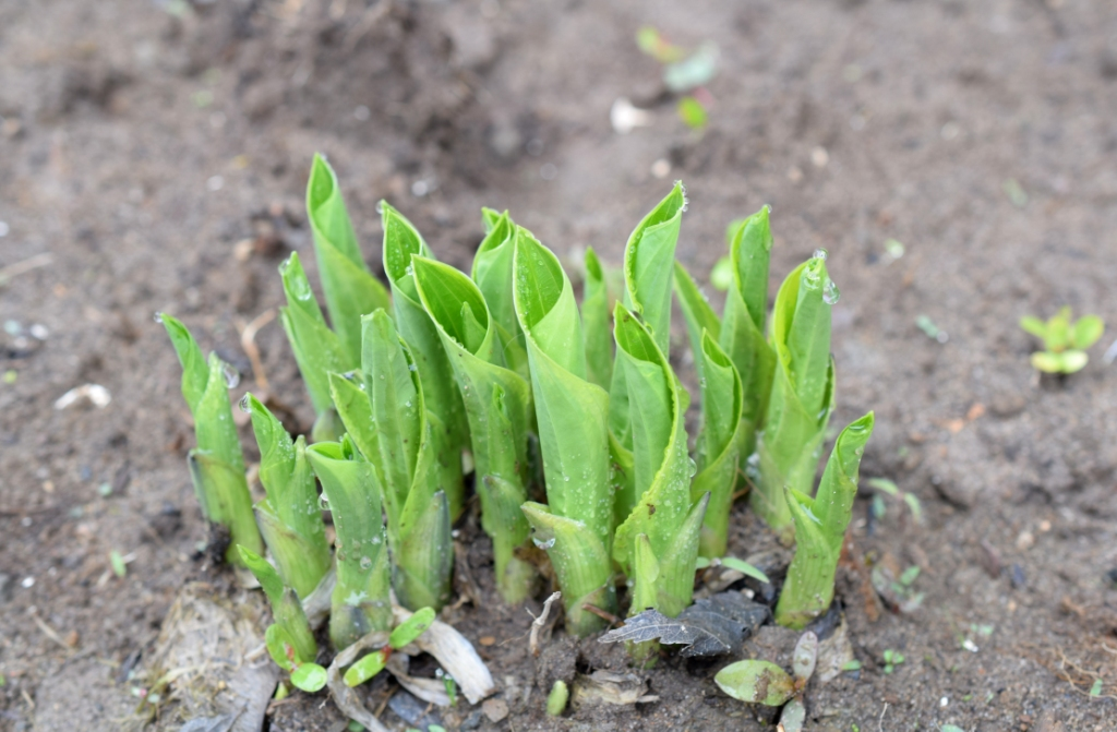 Pousses d'hostas au printemps