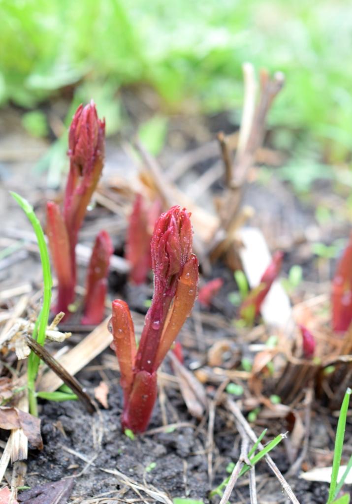 Pousses de pivoine printemps
