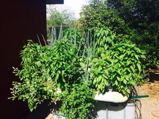 Micro AquaBioPonics Sustentável no Verão (Fonte MyBeloJardim)
