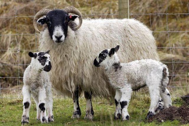 sheep farming business