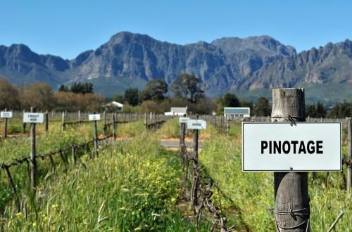 Pinotage Vines