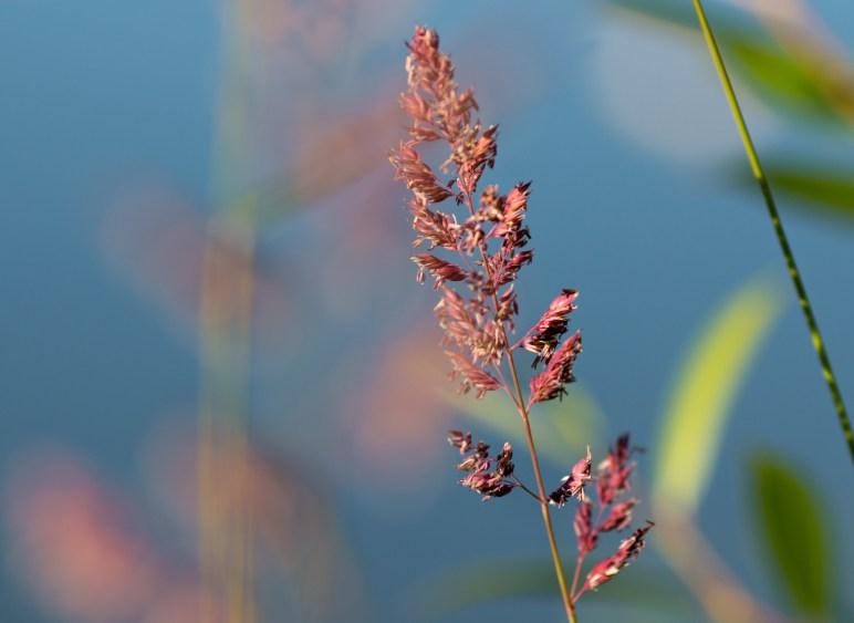 grass seed close up