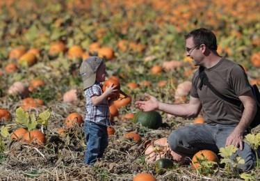 Little boy handing dad a pumpkin in pumpkin patch Sauvie Island
