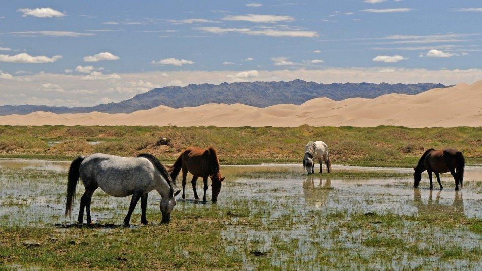Konie w pobliżu Gobi
