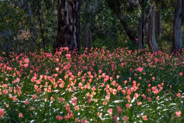 Tak baśniowo jest tylko we wrześniu. Wczesną wiosną te bardzo podobne do frezji kwiaty czasem tworzą wielkie, naturalne dywany.