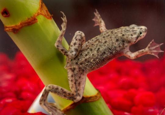 African_dwarf_frog