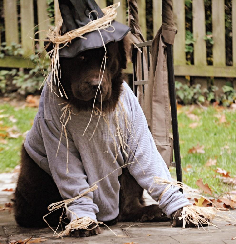 newfoundland dog dressed as scarecrow