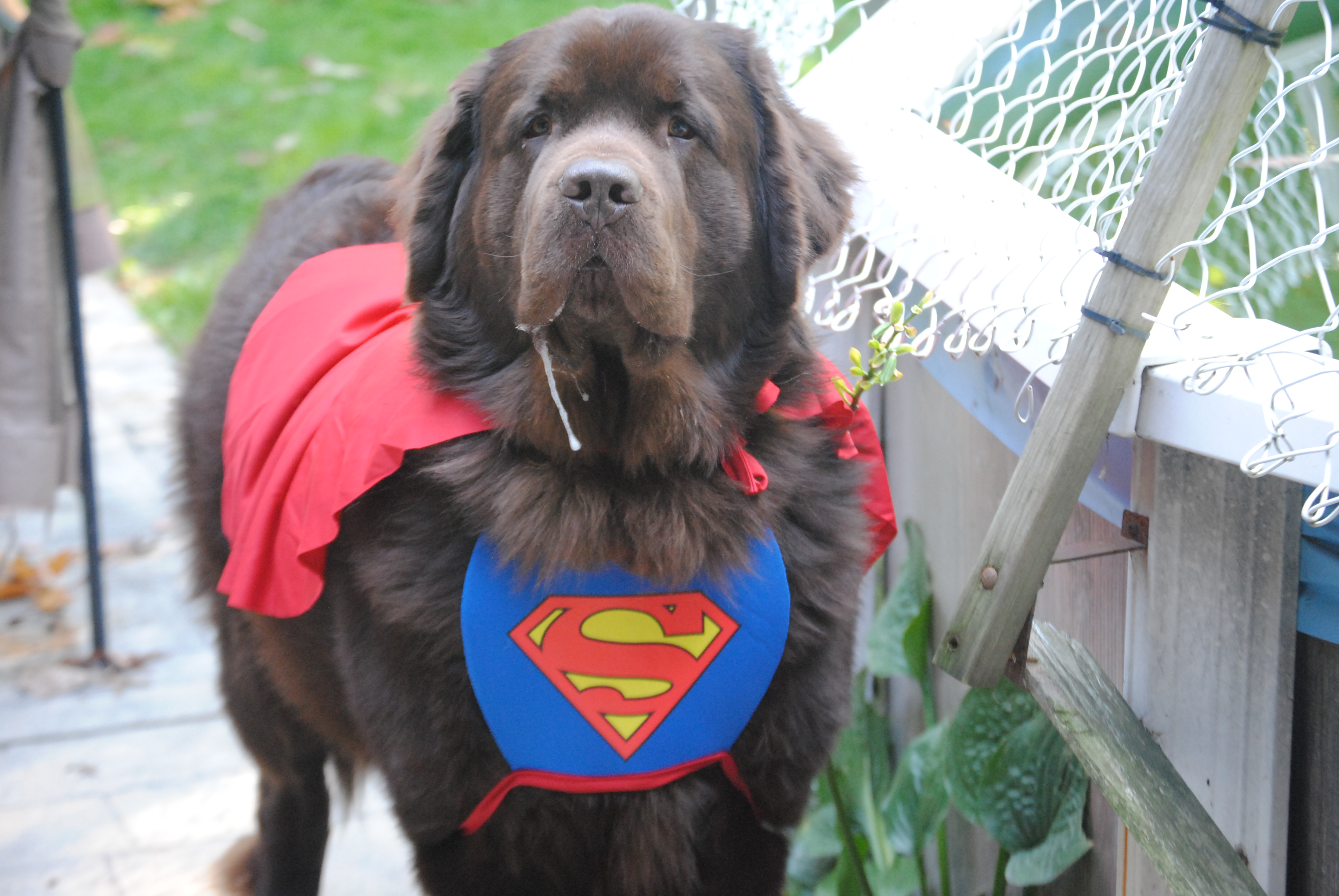 Pet Halloween Contests That Are Spooktacular! - My Brown Newfies