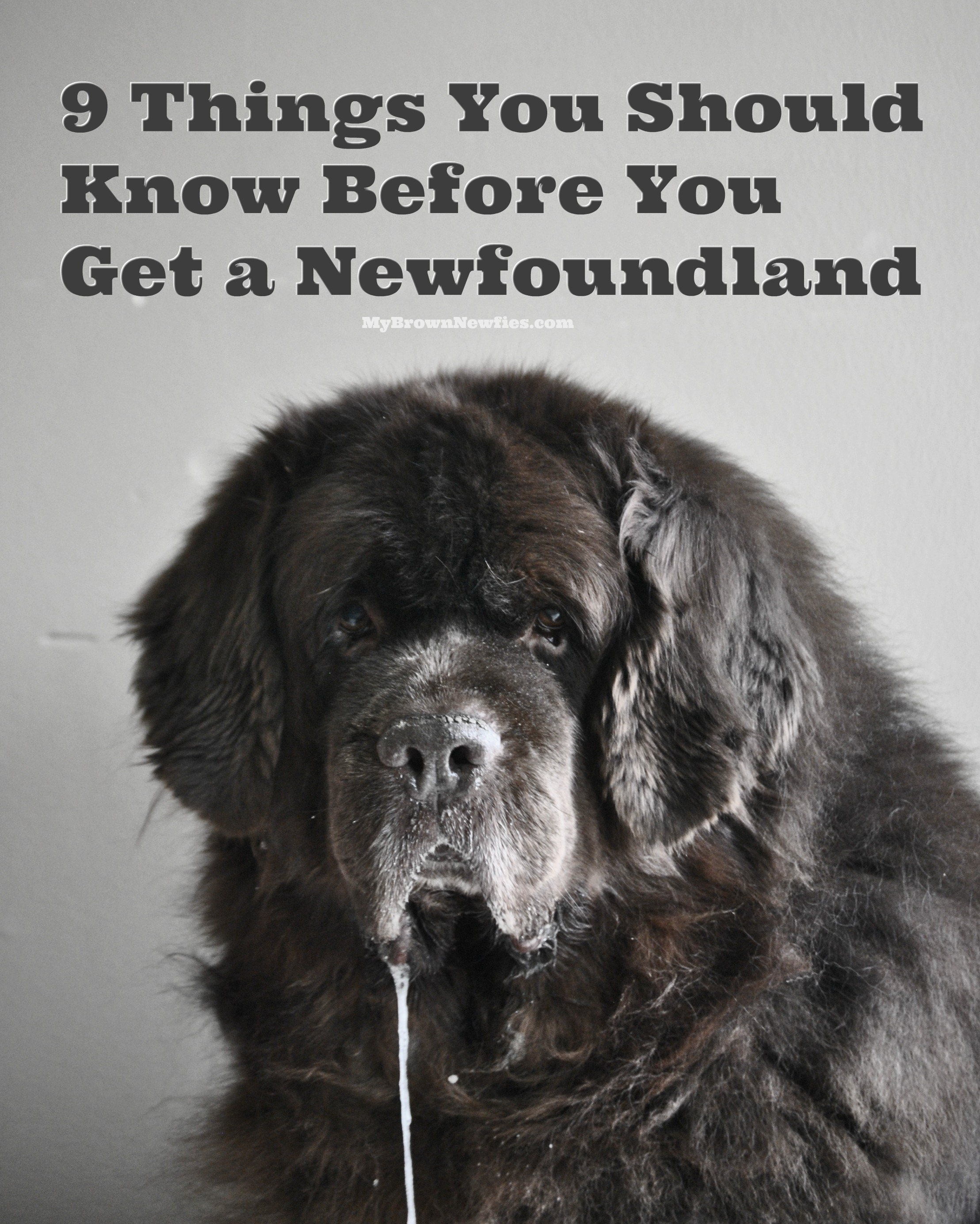 So You Think You Want A Newfoundland  Here's 9 Things You Should