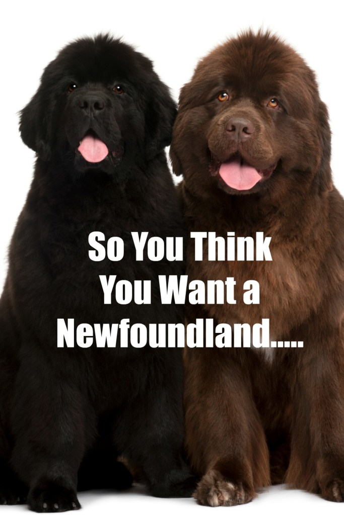 So You Think You Want A Newfoundland Heres 9 Things You