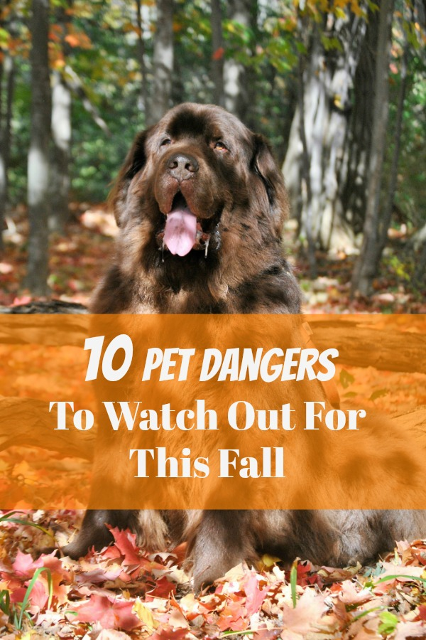 Dog are exposed to many dangers in the fall months including mushrooms, acrons, clambakes, pests and insects and even wildlife.