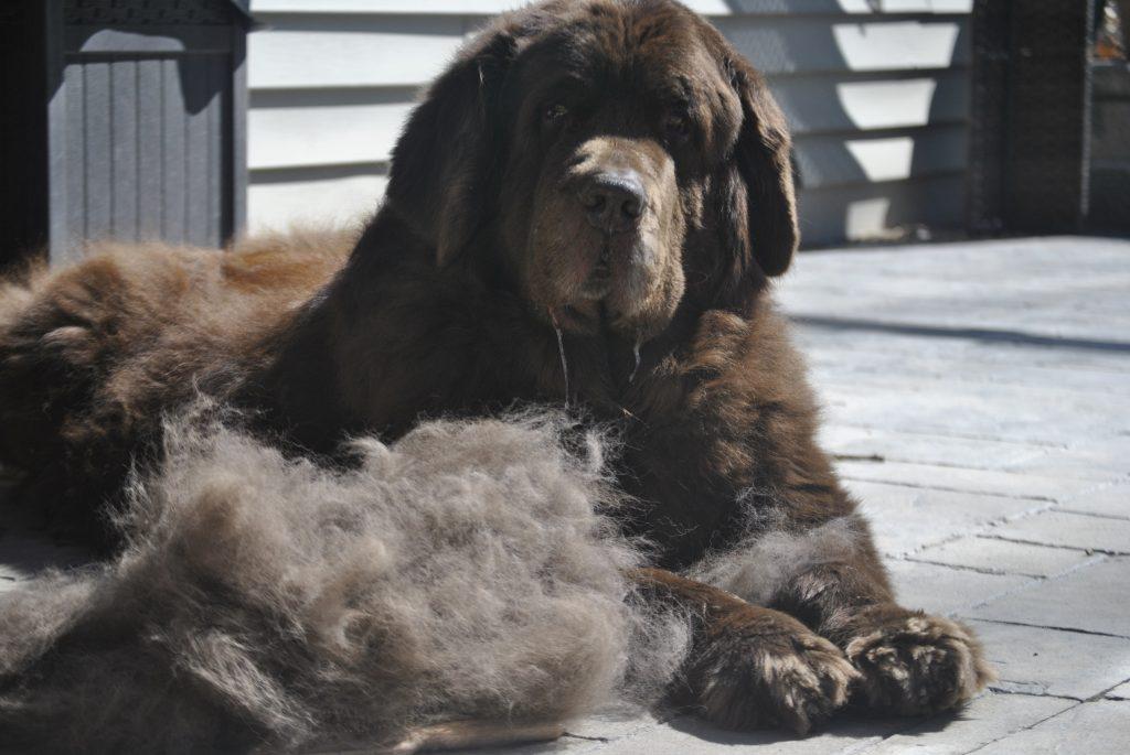 6 False Statements Made About The Newfoundland Dog