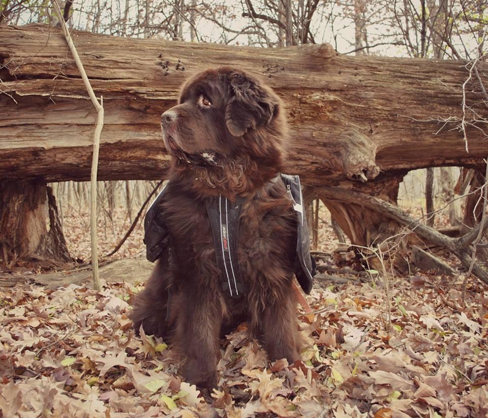 newfoundland dog with backpack on