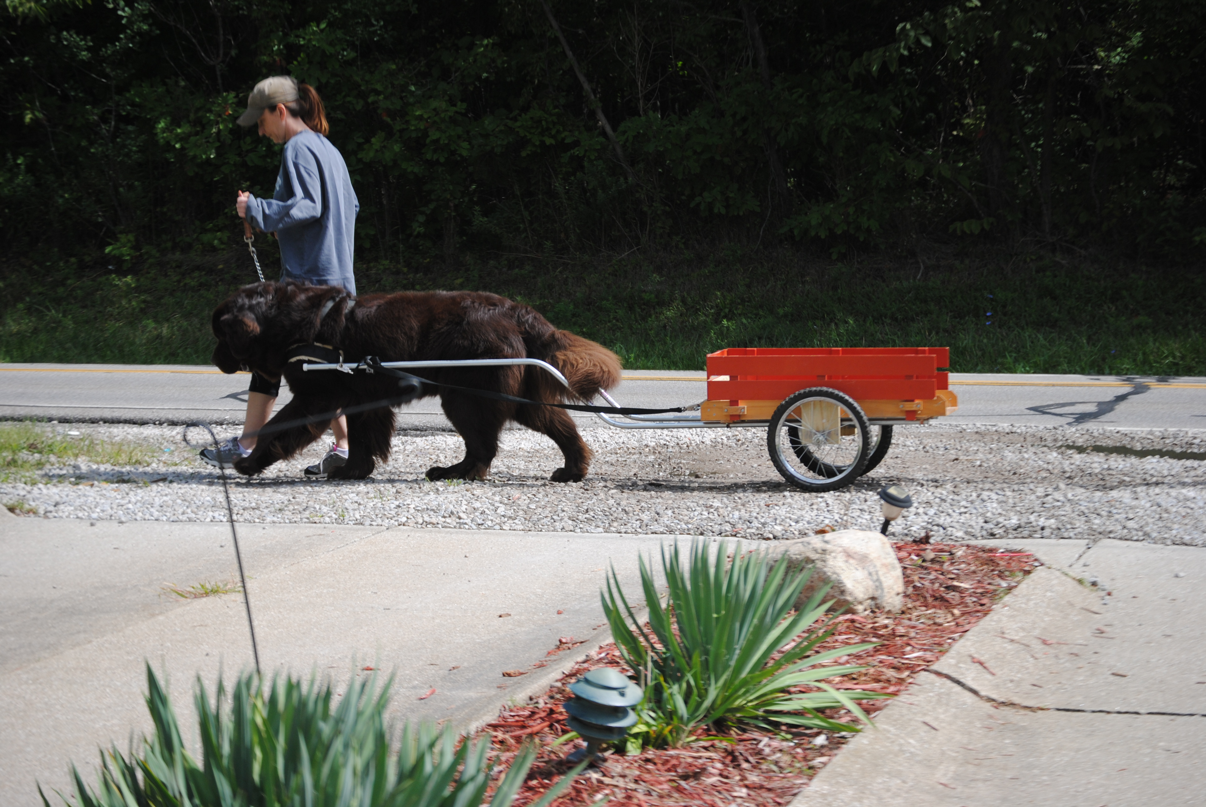 Carting With Your Dog 101 - My Brown Newfies