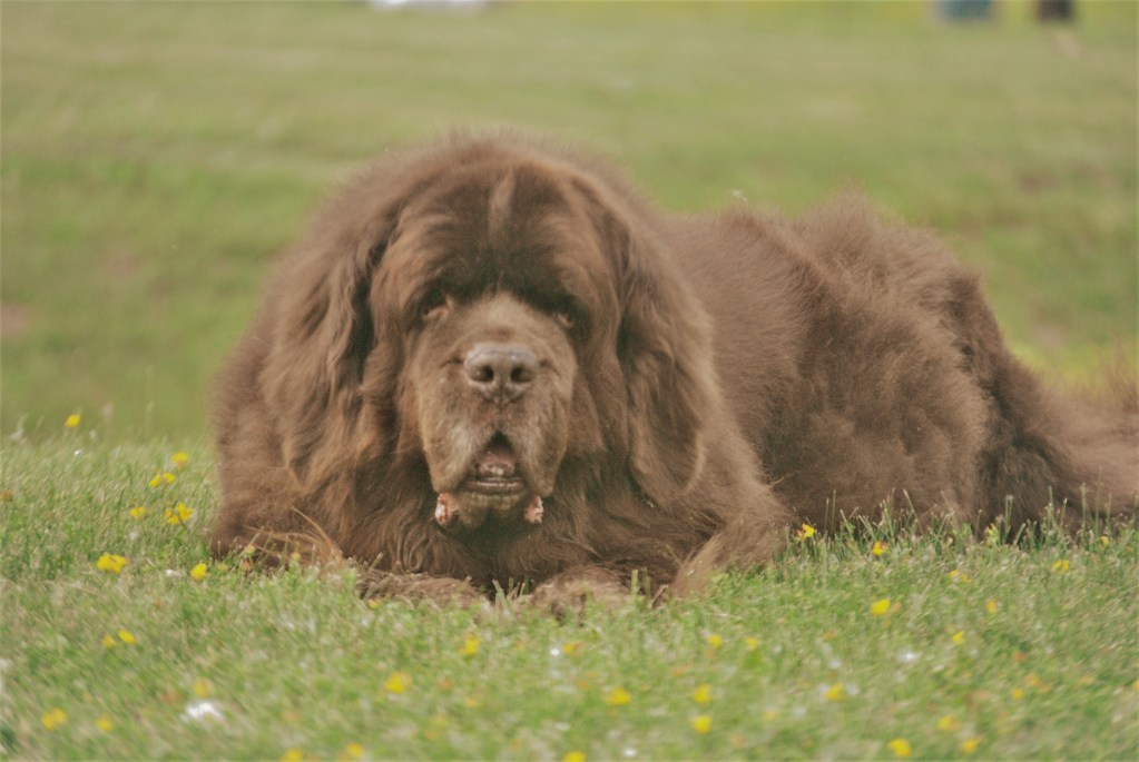How Much Does A Newfoundland Dog Cost My Brown Newfies