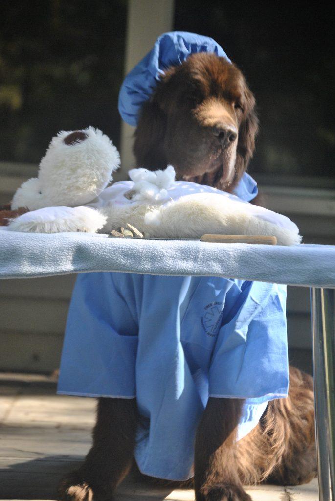 newfoundland dog dressed as surgeon for halloween