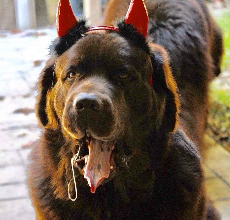 newfoundland dog with devil earrs on
