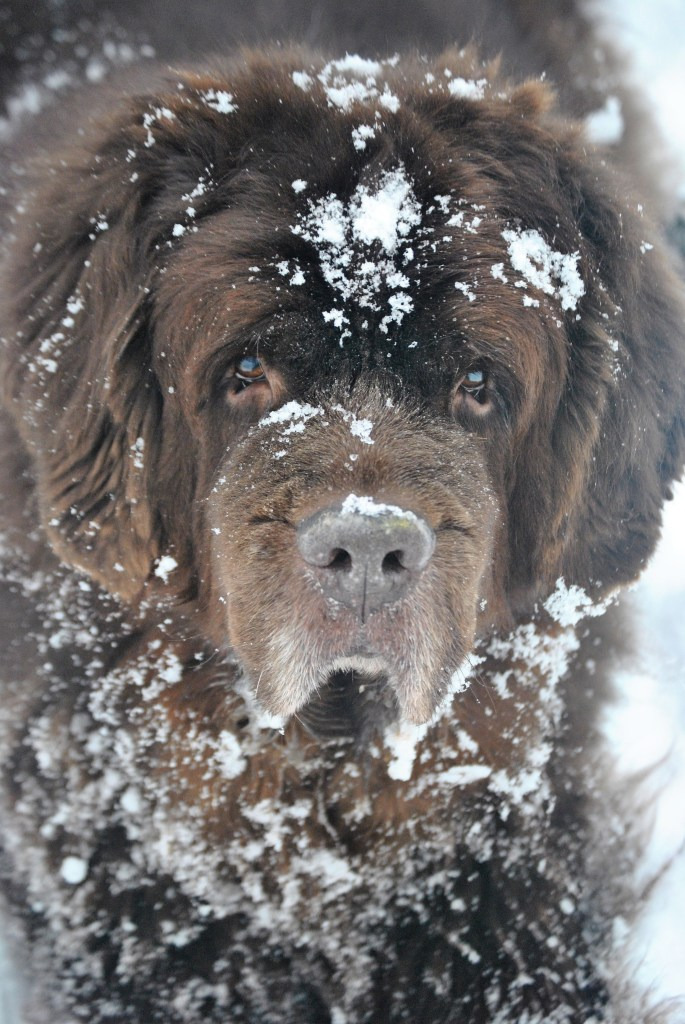 brown newfies in snow