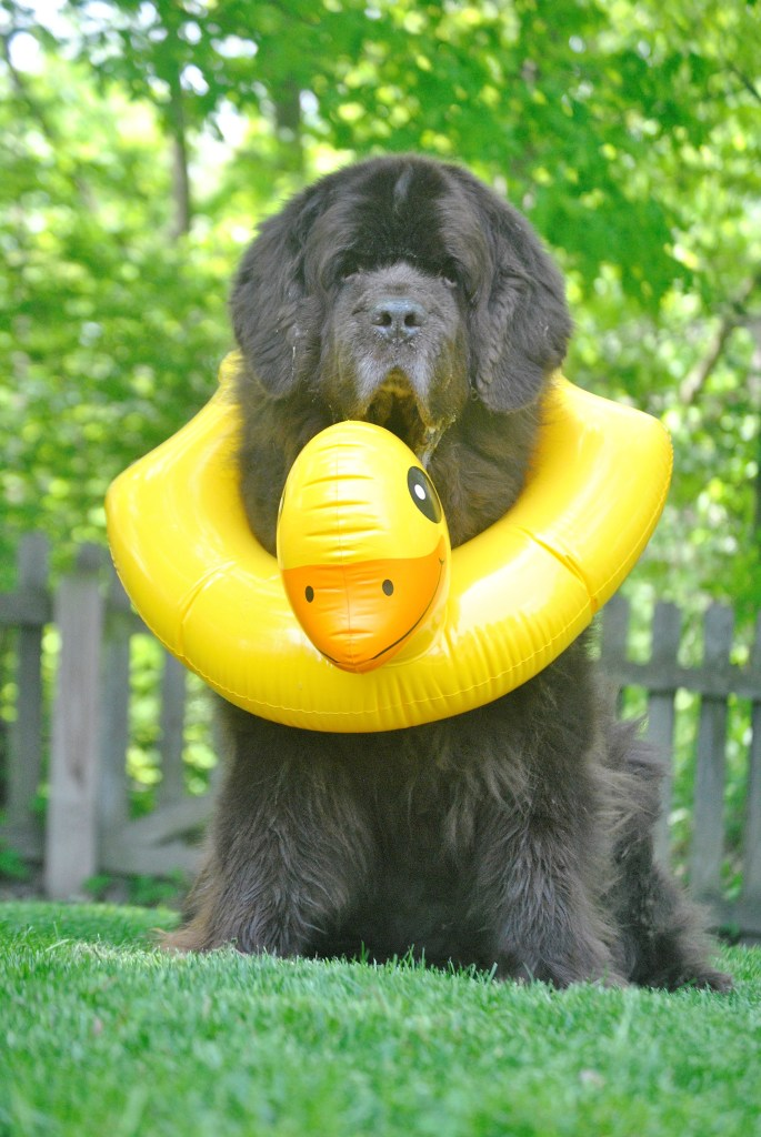 Newfie with duck lifesaver
