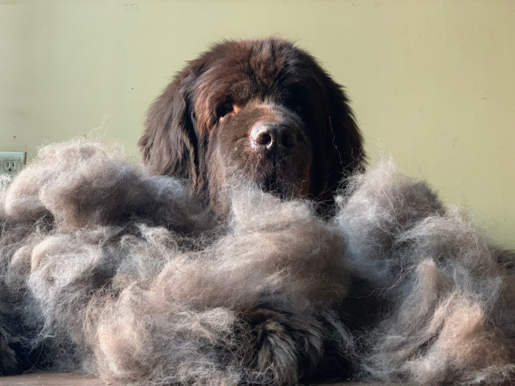 newfoundland dog blowing coat