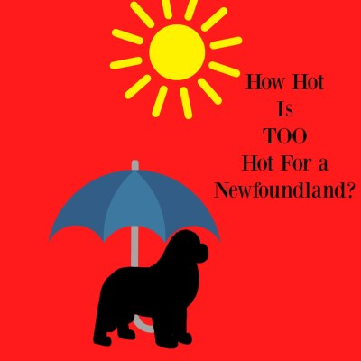How Hot Is Too Hot For A Newfoundland Dog?