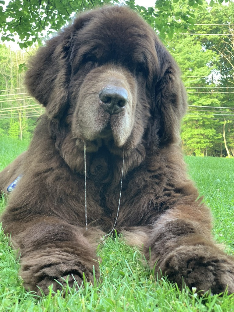 newfoundland dog with double drool strings