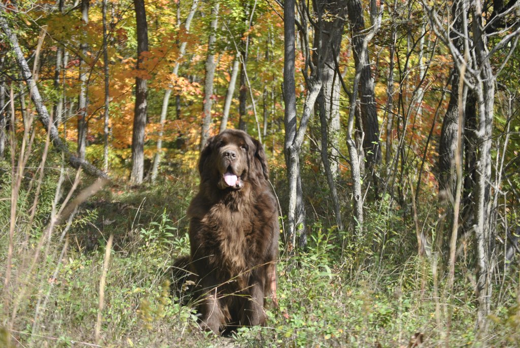 newfoundland dog in the woods