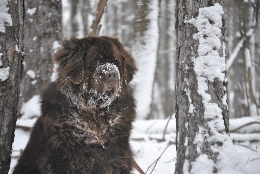 brown newfoundland dog in snow