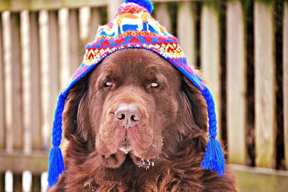 newfoundland dog in hat