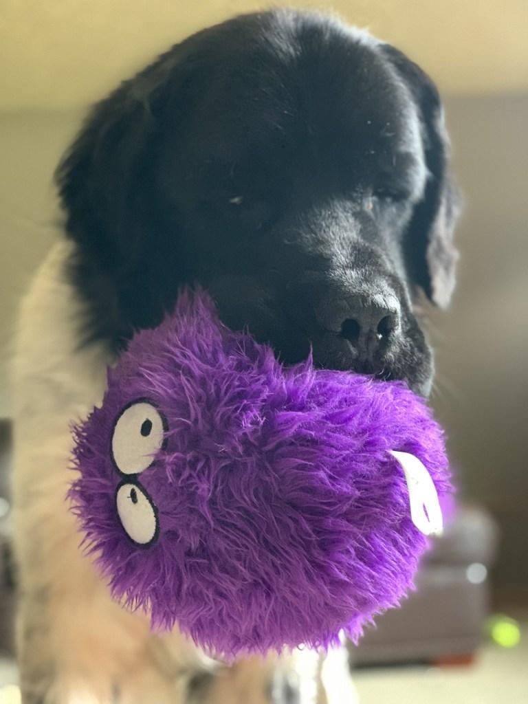 newfoundland dog playing with toy