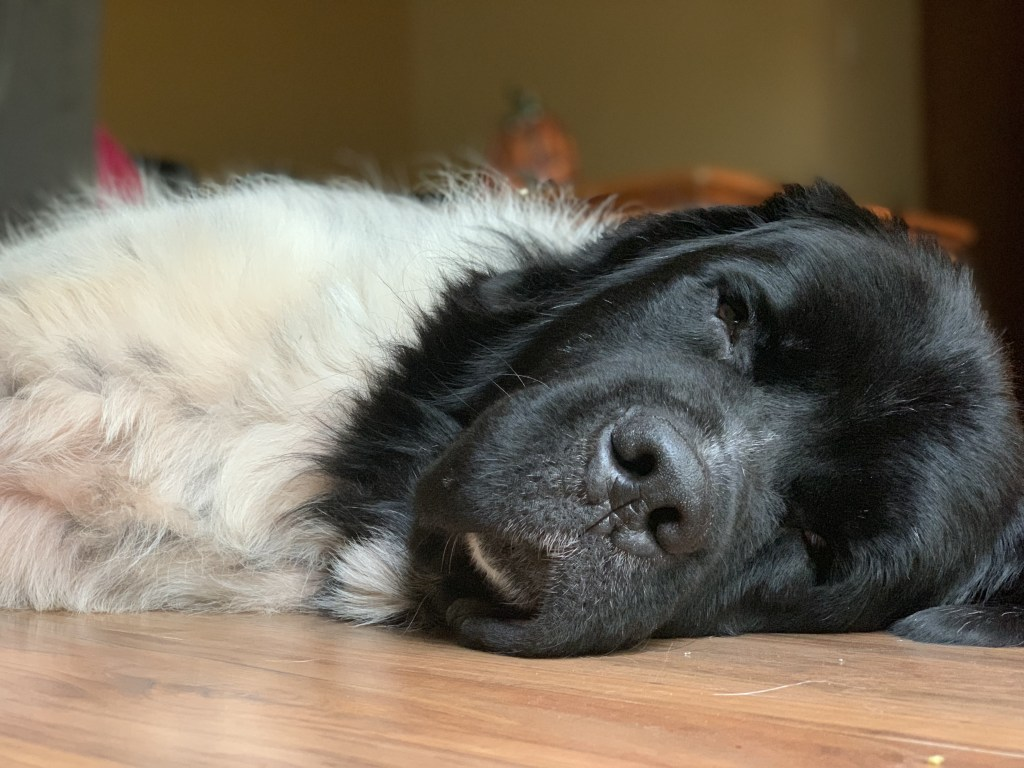 black and white newfie napping