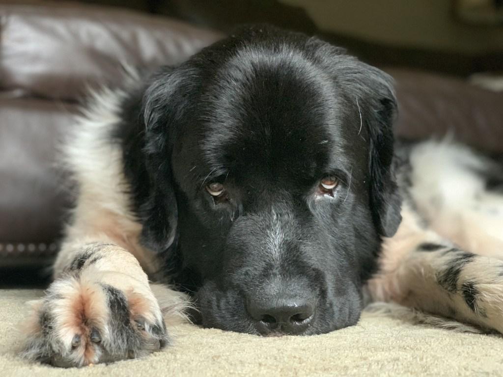 landseer newfoundland dog with brown eyes