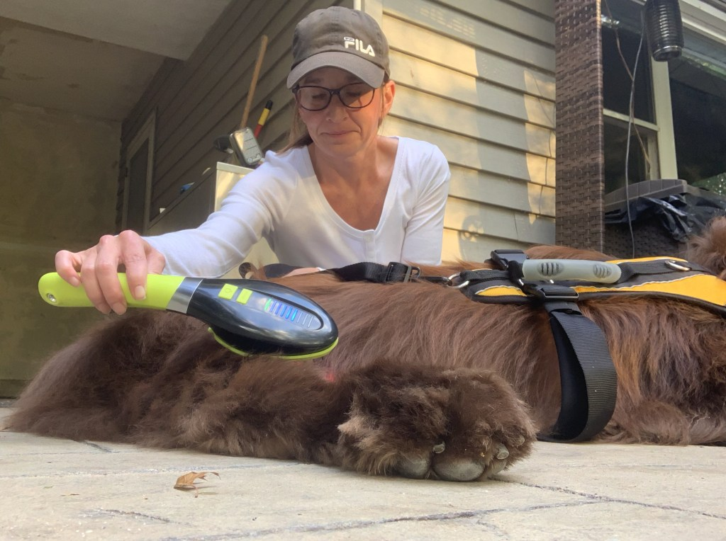 newfoundland dog getting good laser theraphy at home for arthritis