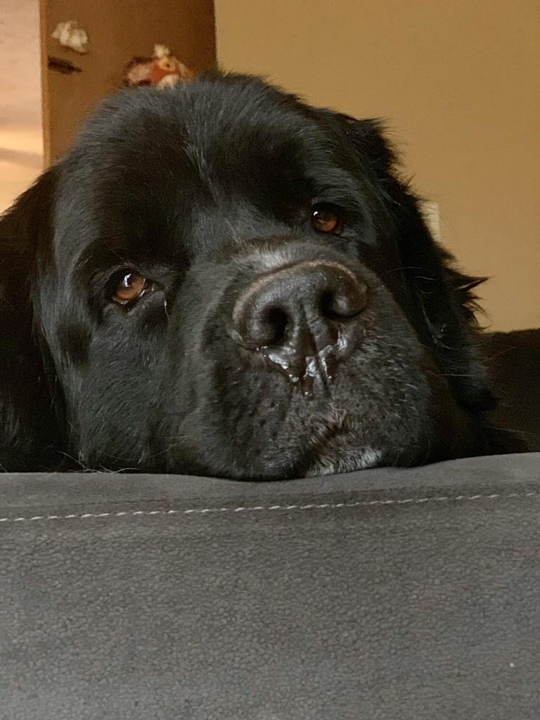 newfoundland dog on couch
