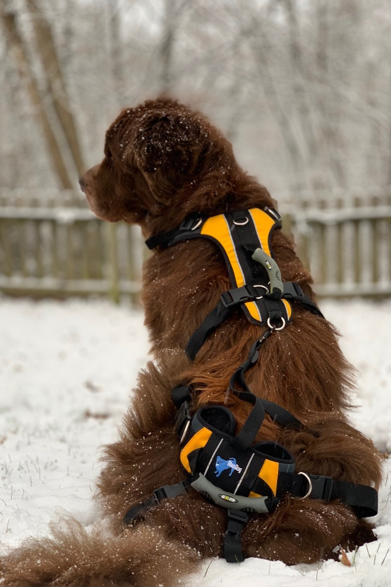 brown newfoundland dog wearing lifting harness in the snow