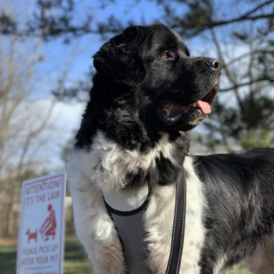 Simple Tips For Walking Your Newfie Without Losing Your Mind