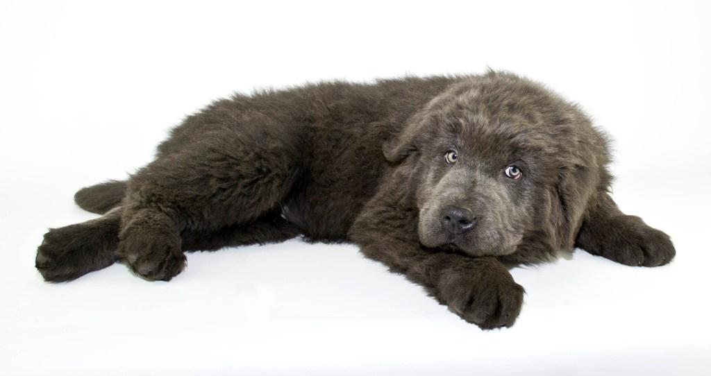grey newfoundland dog puppy