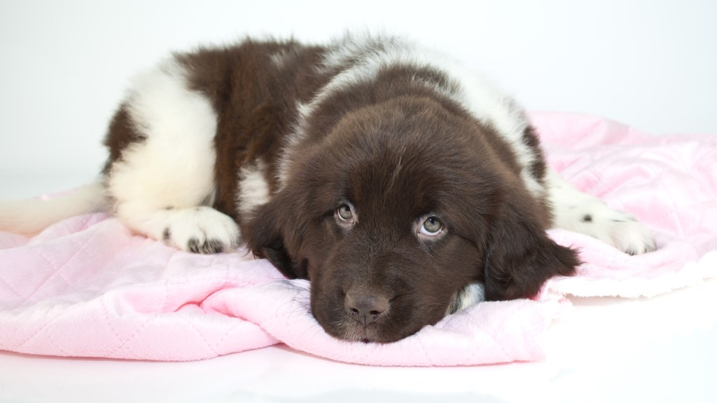 brown and white newfoundland puppy dog