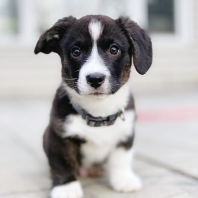 Pros and Cons Of Having A Pandemic Puppy