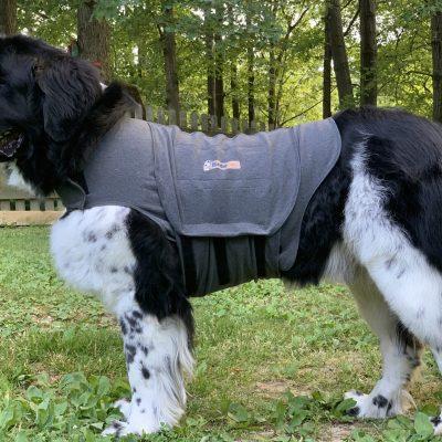newfoundland dog wearing thundershirt