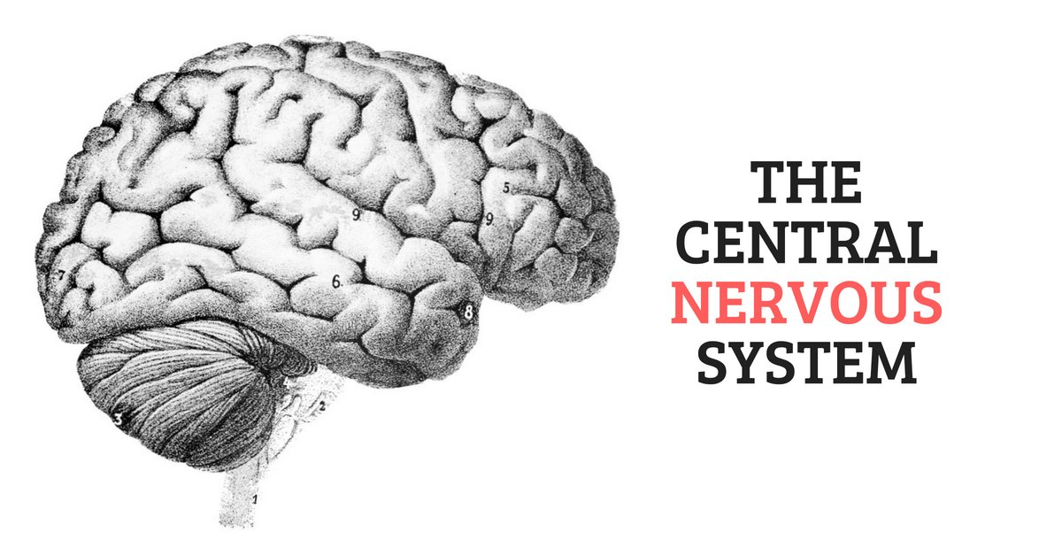 The Central Nervous System and Its Role in the Human Body