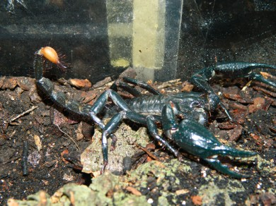 asian-forest-scorpion-3