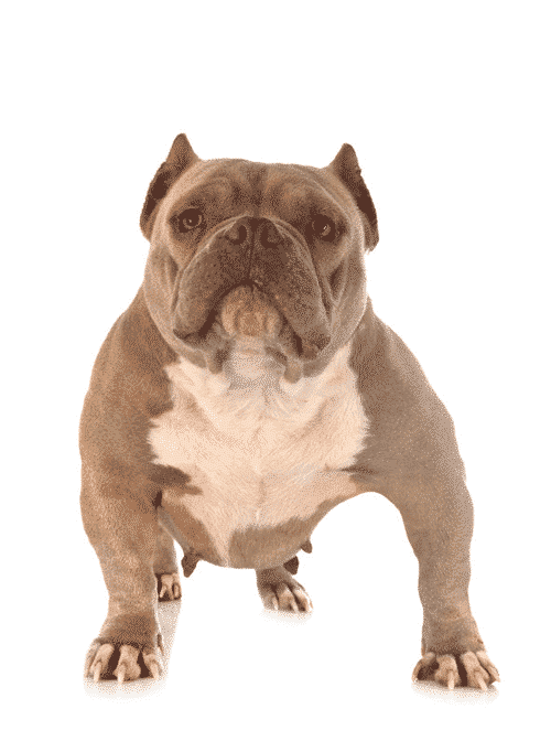 How Much Does A American Bully Cost : american, bully, American, Bully, Cost?