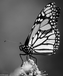 Butterfly Clipart Black And White 1