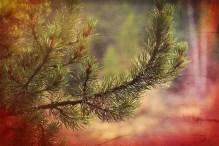 Pine Tree