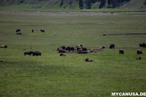 Lamar Valley Bison